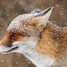 Roeselien Raimond - Red Fox in a Snow Storm