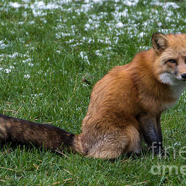 Jim McCain - Red Fox
