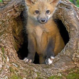 Jack Nevitt - Red Fox Kit