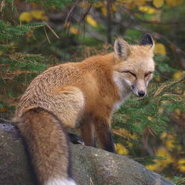 James Peterson - Red Fox