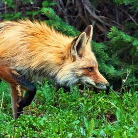 James Futterer - Red Fox Ready to Pounce