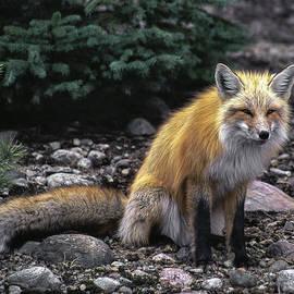 Richard Kitchen - Red Fox