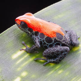Dirk Ercken - red frog Ranitomeya reticulata