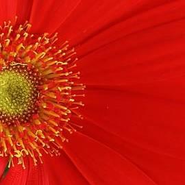 Bruce Bley - Red Gerber Delight