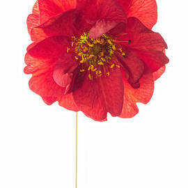 Ann Garrett - Red Geum On White