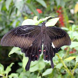 Sergey Lukashin - Red Helen Butterfly
