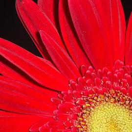 Dawn Currie - Red Joy