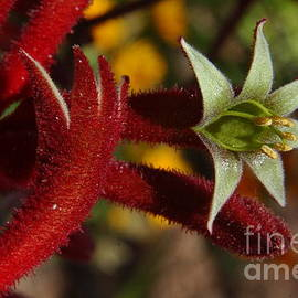 Anna Lisa Yoder - Red Kangaroo Paw Flower