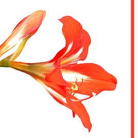 Rosalie Scanlon - Red Lily