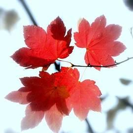 Nancy Harrison - Red Maple Leaf