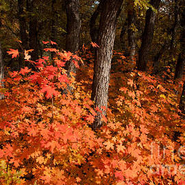 Robert Ford - Red maples in oak forest Zion National Park Utah