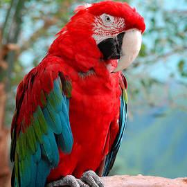 Glenn Morimoto - Red parrot