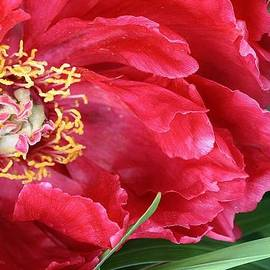 Bruce Bley - Red Peony