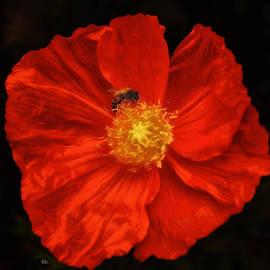 Douglas MooreZart - Red Poppy and Bee