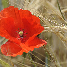 Guido Montanes Castillo - Red poppy
