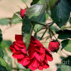 Erica Hanel - Red Rose 2