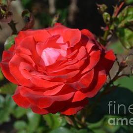 DejaVu Designs - Red Rose Blossom