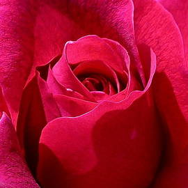 Denise Mazzocco - Red Rose Close Up