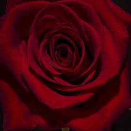 David Stone - Red Rose
