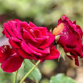 Leif Sohlman - Red rose DB late September 2013