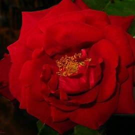 Joyce Dickens - Red Rose of May