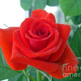 Sergey Lukashin - Red Rose