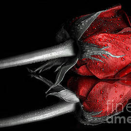 Sindy Stohler - Red Rose with drops colorkey