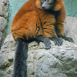 Emmy Marie Vickers - Red Ruffed Lemur