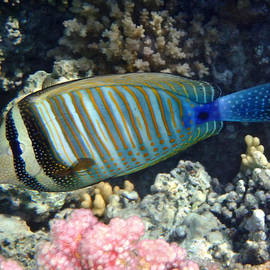 Johanna Hurmerinta - Red Sea Beauty Zebrasoma