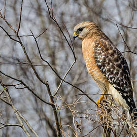 Dawna  Moore Photography - Red-shouldered Hawk Blue Springs State Park Florida