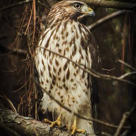 Karen Wiles - Red Shouldered Hawk