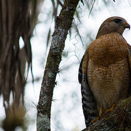 Kathy Liebrum Bailey - Red Shouldered Hawk Waiting