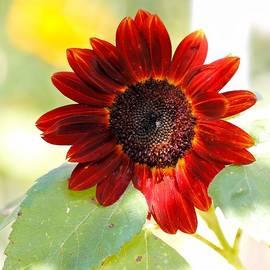 Katherine White - Red Sunflower