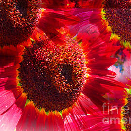 Tina M Wenger - Red Sunflowerburst