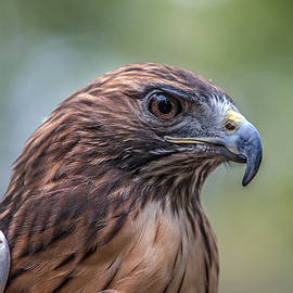 John Haldane - Red Tail Hawk