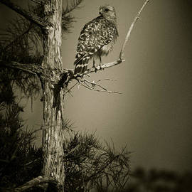 Bradley R Youngberg - Red Tail Hawk On Loop Road
