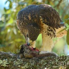 Kathy Baccari - Red Tailed Hawk And Prey