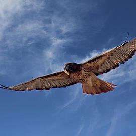 Bob Hislop - Red Tailed Hawk
