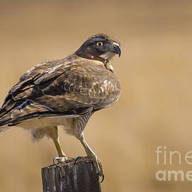 Janis Knight - Red Tailed Hawk Watching