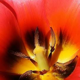 Bruce Bley - Red Tulip Abstract