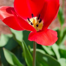 Andrea Anderegg  - Red Tulip