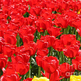 Tap  On Photo - Red Tulip Field