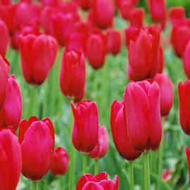 Jennifer Lyon - Red Tulips
