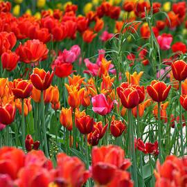Relihan Art - Red Tulips