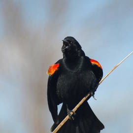 James Peterson - Red-wing Blackbird Courtship