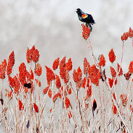 Steven Ralser - Red Winged Blackbird On Sumac