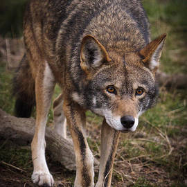 Wes and Dotty Weber - Red Wolf Approach D3802