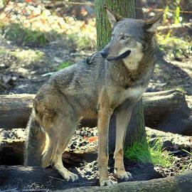 Dorothy Menera - Red Wolf