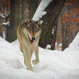 Lianne Schneider - Red Wolf on a Winter Hunt