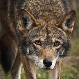 Wes and Dotty Weber - Red Wolf Stalking D3798
